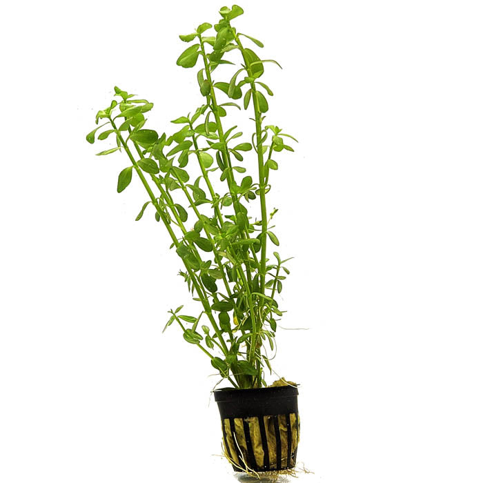 Bacopa Moneywort