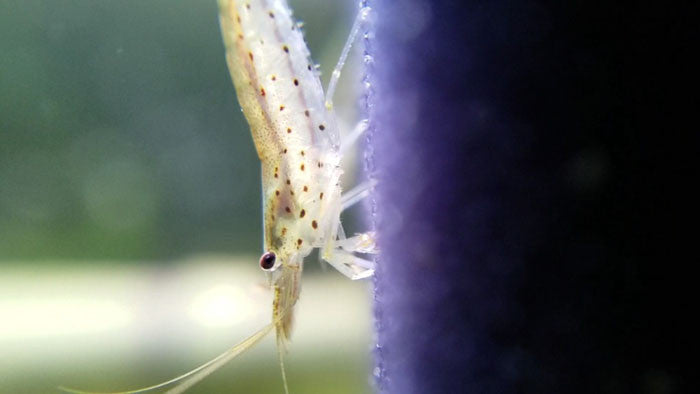 Amano Shrimp - 5 or 10 Pack