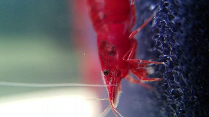 10 Red Cherry Shrimp