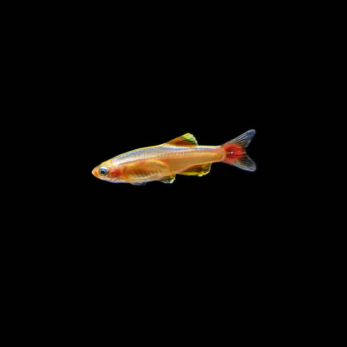 Gold White Cloud Minnow