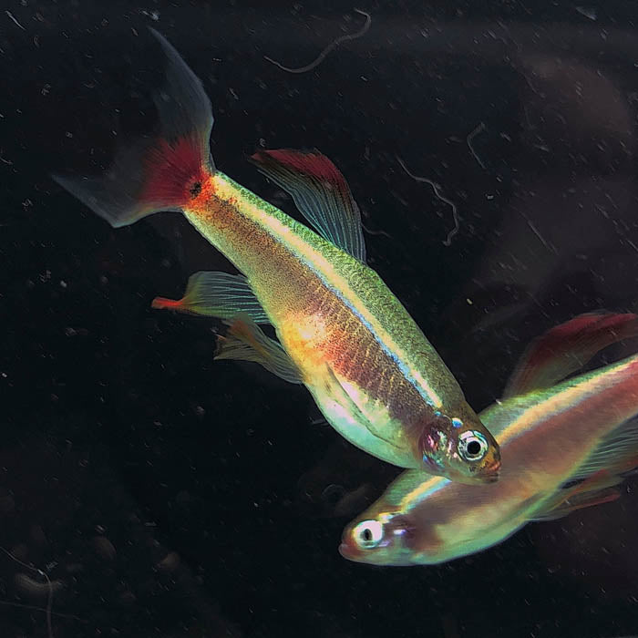 Longfin White Cloud Minnow