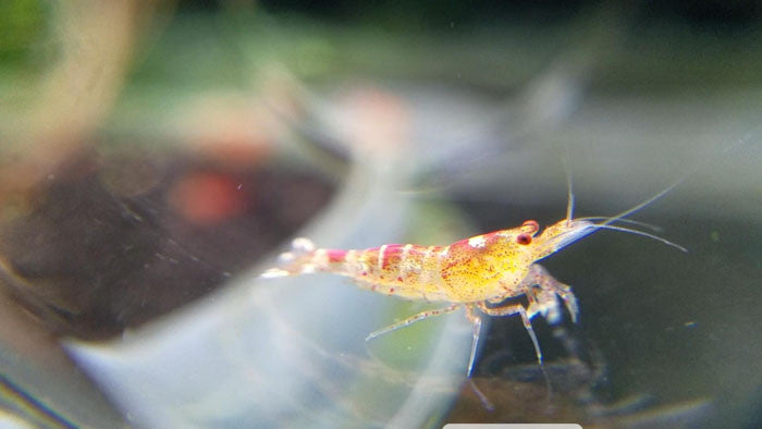 10 Red Fancy Tiger Shrimp - Culls