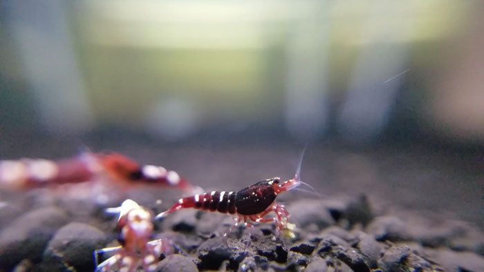 Red Pinto Shrimp - Mixed