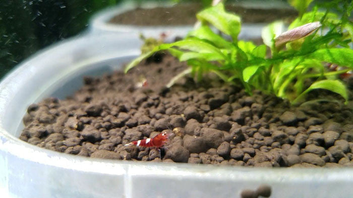 5 Red King Kong / Panda Shrimp Mix