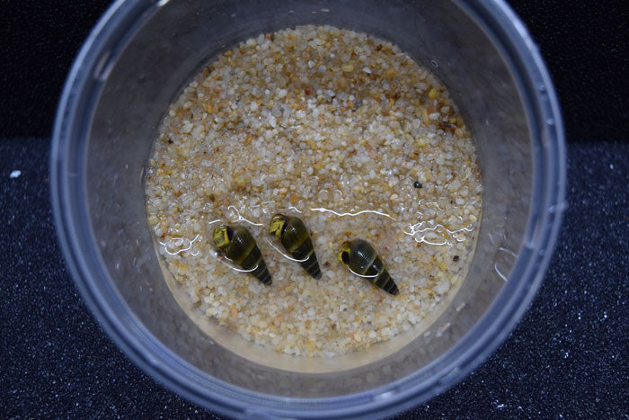 3 Yellow Rabbit Snails