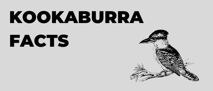 Kookaburra Facts That Are Nothing To laugh At