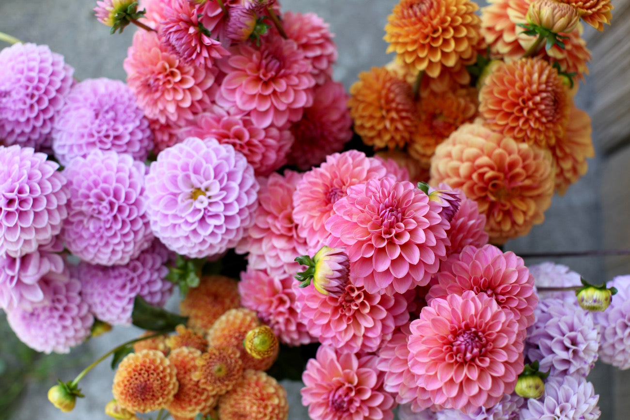 Dahlias The Flower Edit Nikki Tibbles Wild At Heart