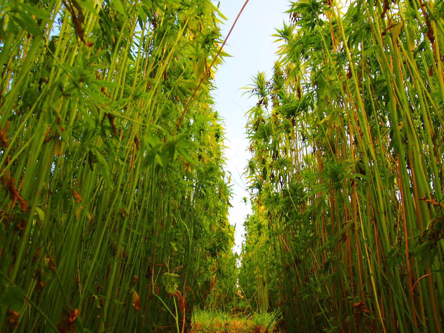 Tall hemp field