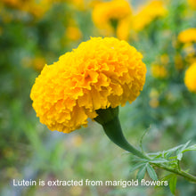 Lutein in AREDS 2 Vitamins is Extracted from Marigold Flowers