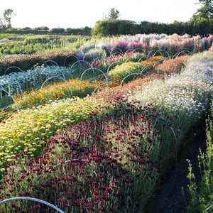 Easy-to-grow Hardy Annuals