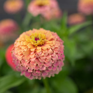 Grow Great Zinnias