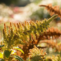 Amaranth Autumn Touch