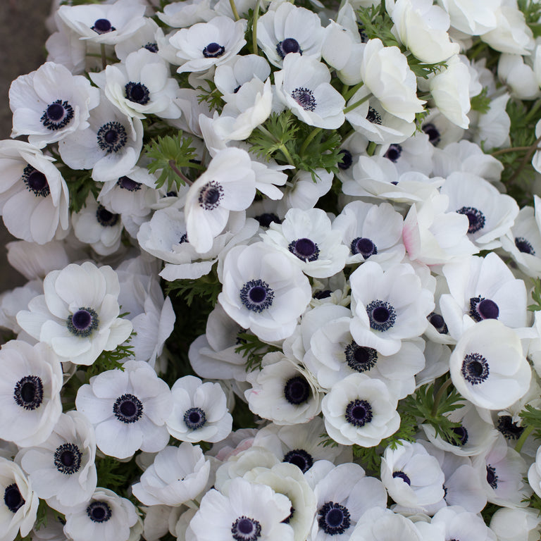 Anemone black white floret shop anemone black white mightylinksfo