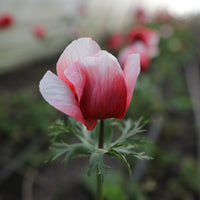 Anemone Red-White