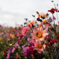 Dahlia Bee's Choice Mix
