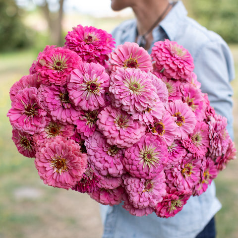 Zinnia Benary's Giant Bright Pink