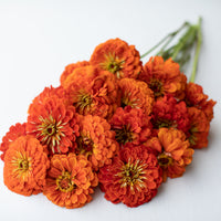 Zinnia Benary's Giant Orange