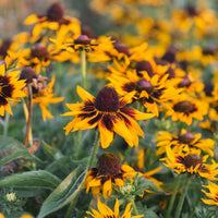 Black Eyed Susan Denver Daisy