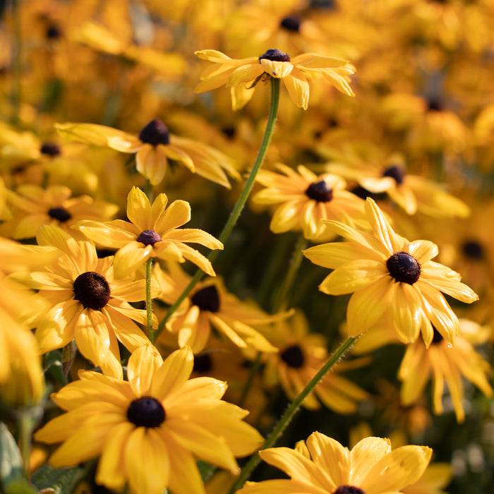 Black Eyed Susan Indian Summer