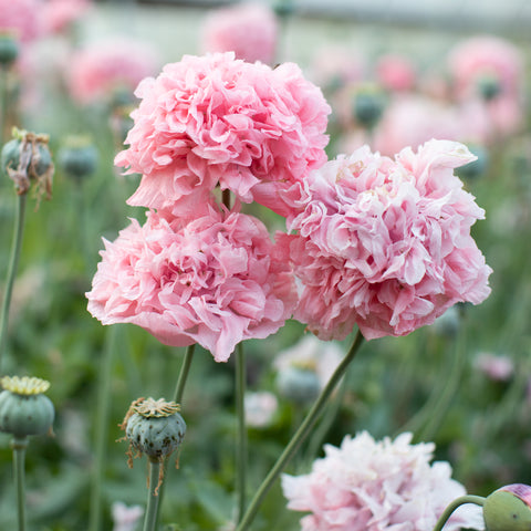 Breadseed Poppy Pink Peony