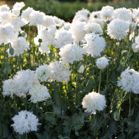 Breadseed Poppy White Frills