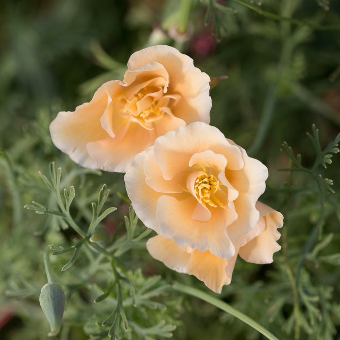 California Poppy Thai Silk Pink Champagne