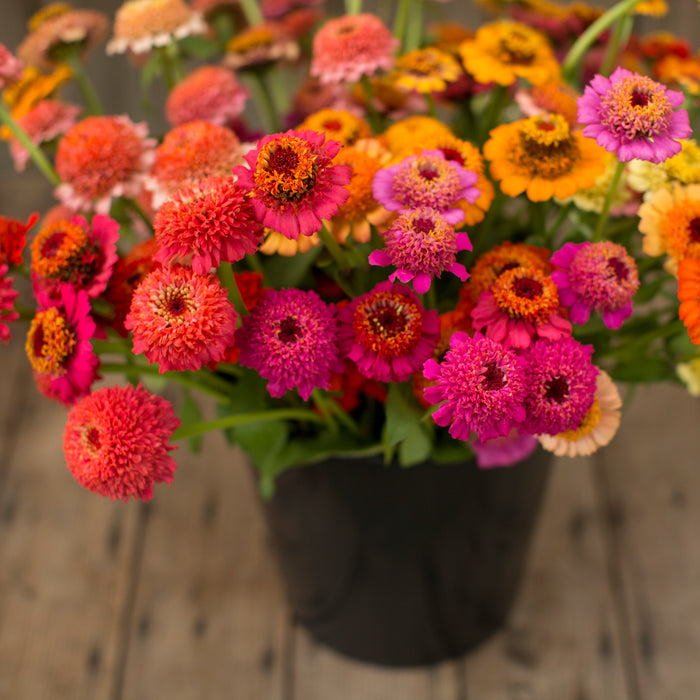 Zinnia Candy Mix