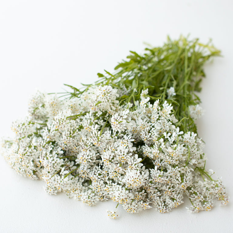 Candytuft Pinnacle White