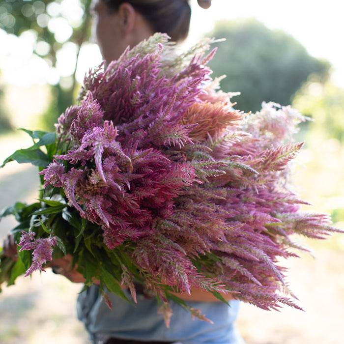 Celosia Texas Plume Summer Sherbet Mix