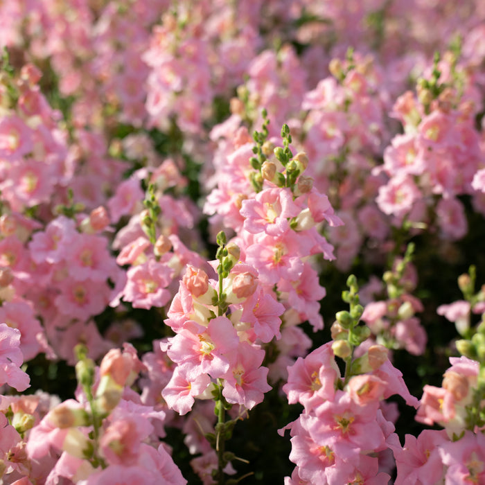 Snapdragon Chantilly Light Pink