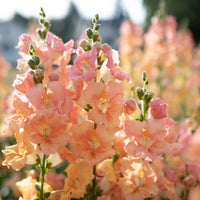 Snapdragon Chantilly Light Salmon