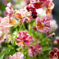 Pansy Chianti Mix