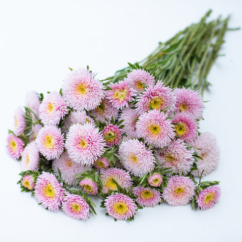 China Aster Harlekin Light Rose