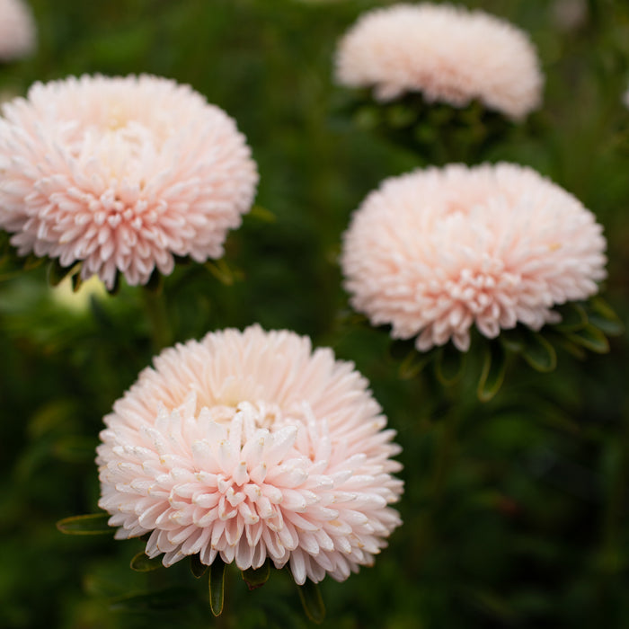 China Aster Lady Coral Chamois