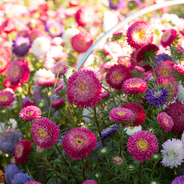 China Aster Matador Mix