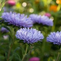China Aster Moonstone