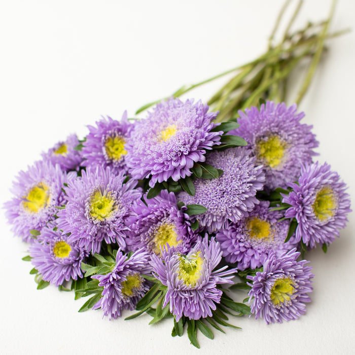 China Aster Rose of Shanghai Light Blue