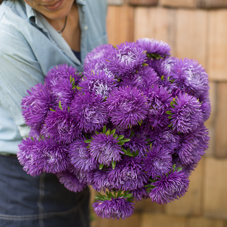 China Aster Royal Purple Mix