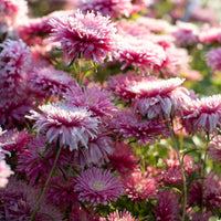China Aster Sea Starlet Pink