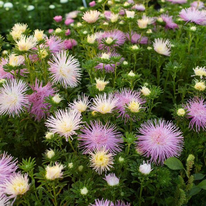 China Aster Valkyrie Pink