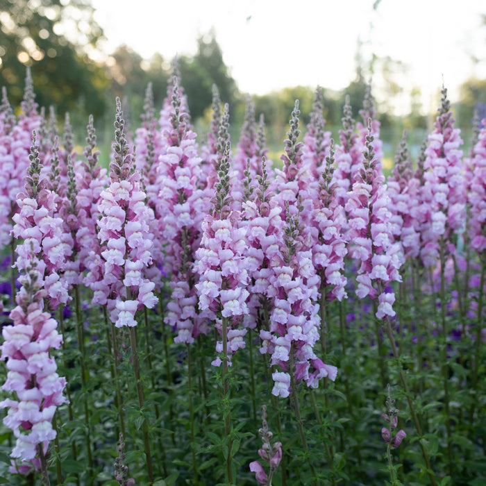 Snapdragon Costa Summer Lavender