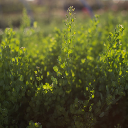 Cress Pennycress