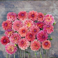 Dahlia All That Jazz