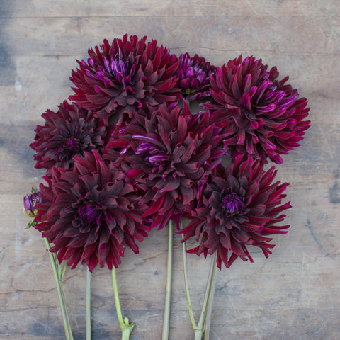 Dahlia Hollyhill Black Beauty
