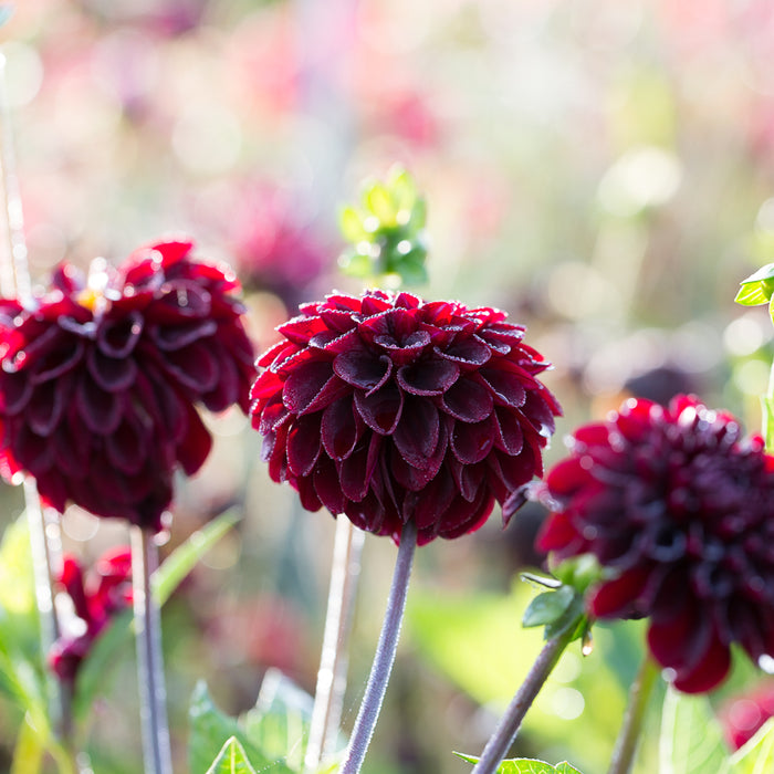 Dahlia Lights Out