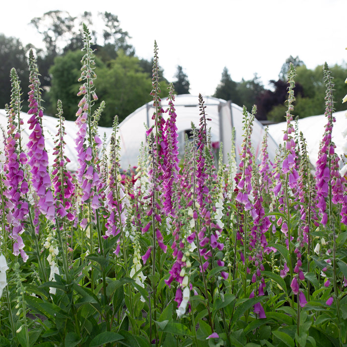 Foxglove Excelsior