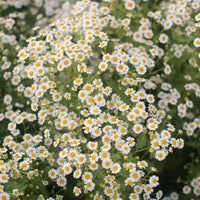 Feverfew Vegmo Single