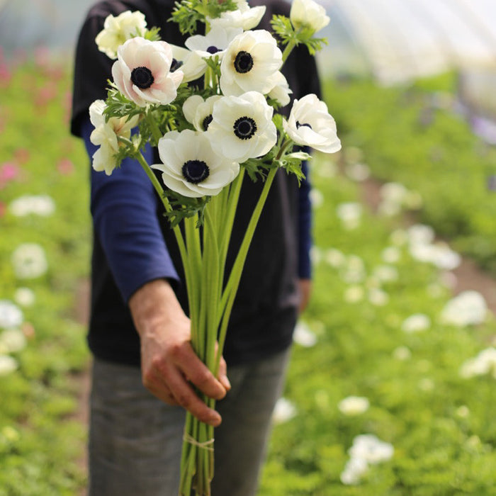 Anemone white with black eye bunch Floret