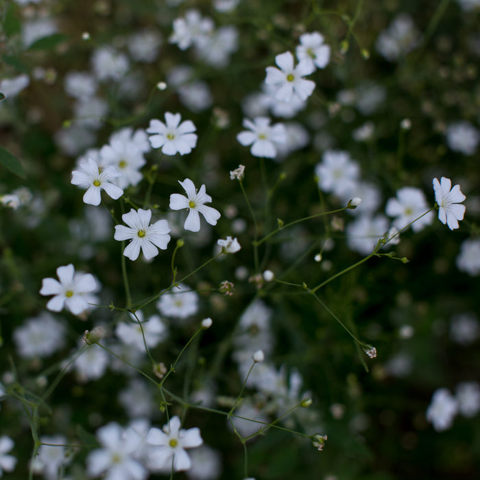 Gypsophilia Covent Garden