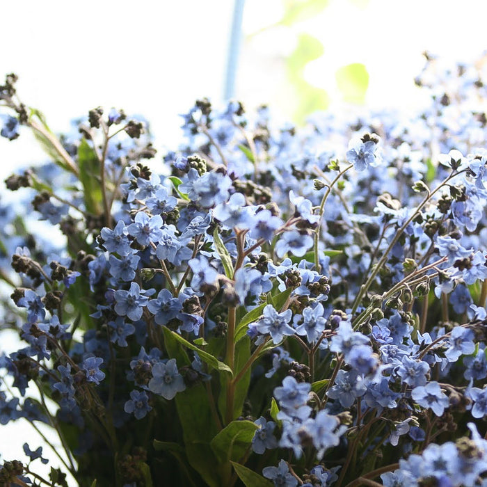 Chinese Forget Me Nots Floret Flower Farm